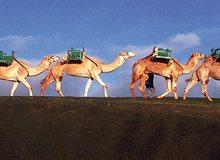 Camellos en el Parque Nacional de Timanfaya