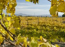 Viñedos de uva moscatel, Alicante