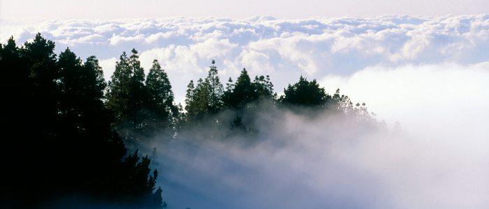 Pinos de Gáldar entre la bruma y las nubes