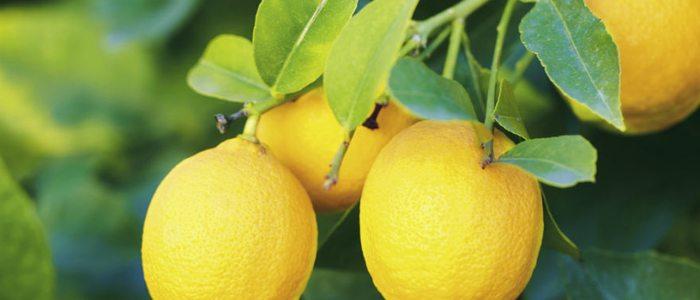 El Paparajote se hace usando la hoja del limonero