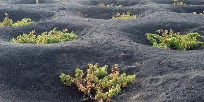 Viñedos cultivados en lava, en La Geria