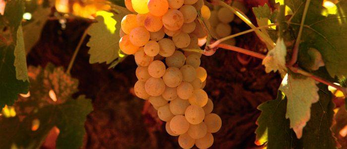 Uva verdejo empleada para el vino de Rueda
