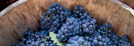Barril con la cosecha de uva