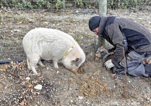 Trufa negra: recogida con cerdos en Soria | Guía Repsol