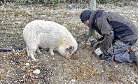 Recoger trufa negra con cerdos en Soria | Guía Repsol